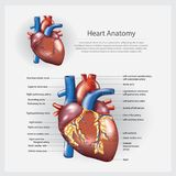 Human Heart Anatomy Vector Illustration. Human Heart Anatomy with detail Vector Illustration Royalty Free Stock Images
