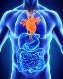 Human Heart Anatomy. Illustration. 3D render royalty free illustration
