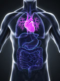 Human Heart Anatomy Stock Image