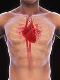 Human Heart Anatomy. Illustration. 3D render stock illustration