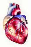 Human heart anatomy illustration Royalty Free Stock Images