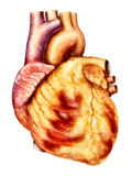 Human heart anatomy illustration Royalty Free Stock Images