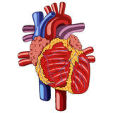 Human heart anatomy. Illustration of a human heart with veins Stock Images