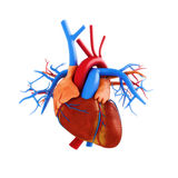 Human heart anatomy illustration Stock Photos