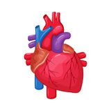 Human heart anatomy. Heart medical science vector illustration. Internal human organ: atrium and ventricle, aorta, pulmonary trunk, valve and vein.  education Royalty Free Stock Photo