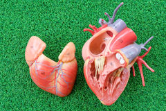 Human heart anatomy model. With healthcare and medical concept stock photography