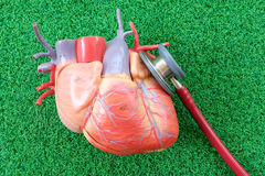 Human heart anatomy model. With healthcare and medical concept stock images