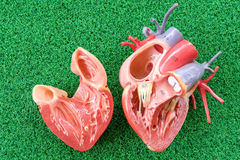 Human heart anatomy model. With healthcare and medical concept stock photo