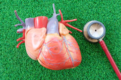 Human heart anatomy model. With healthcare and medical concept stock photos