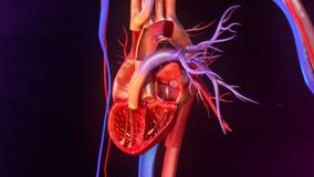 Human Heart Anatomy. The heart is a muscular organ about the size of a closed fist that functions as the body's circulatory pump. It takes in deoxygenated Stock Image