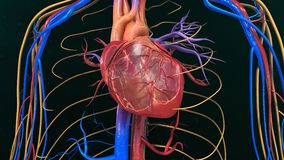 Human Heart Anatomy. The heart is a muscular organ about the size of a closed fist that functions as the body's circulatory pump. It takes in deoxygenated stock images