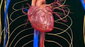 Human Heart Anatomy. The heart is a muscular organ about the size of a closed fist that functions as the body's circulatory pump. It takes in deoxygenated royalty free stock photo