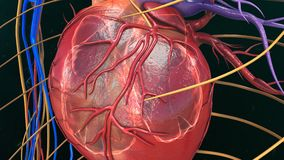 Human Heart Anatomy. The heart is a muscular organ about the size of a closed fist that functions as the body's circulatory pump. It takes in deoxygenated Royalty Free Stock Photos