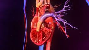Human Heart Anatomy Royalty Free Stock Photos