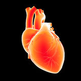 Human Heart anterior view Royalty Free Stock Photos