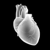 Human Heart anterior view Stock Photography
