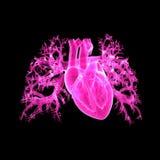 Human Heart Anterior view Stock Image