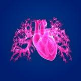 Human Heart Anterior view Royalty Free Stock Photos