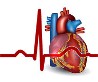 Human heart beat, isolated on white Royalty Free Stock Images