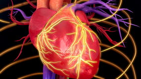Human Heart Beat. The human heart is an organ that pumps blood throughout the body via the circulatory system, supplying oxygen and nutrients to the tissues and vector illustration