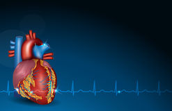 Human heart and blue background