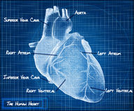 The Human heart blueprint concept Stock Image