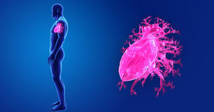Human Heart with Body Lateral view Royalty Free Stock Image