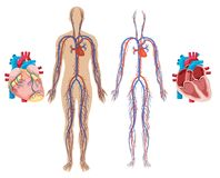 Human Heart and Cardiovascular System royalty free illustration