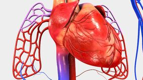 Human Heart with Circulatory System. The heart is a muscular organ about the size of a closed fist that functions as the body's circulatory pump. It takes in Royalty Free Stock Images