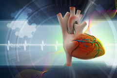 Human heart Royalty Free Stock Photos