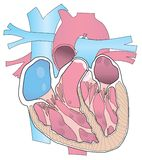 Human Heart Cutaway Illustration Royalty Free Stock Images