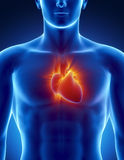 Human heart in detail with glowing rays Royalty Free Stock Images