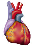 Human heart detailed  Royalty Free Stock Images