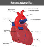 Human Heart detailed anatomy. Vector Medical Stock Images