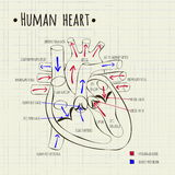 A human heart diagram Royalty Free Stock Photos