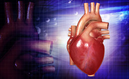 Human heart. Digital illustration of a human heart in colour background royalty free stock image