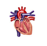 Human heart. Digital illustration, cutout Royalty Free Stock Image