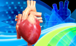 Human heart. Digital illustration of a human heart in white background royalty free stock images