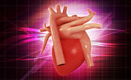 Human heart. Digital illustration of a human heart in white background royalty free stock image
