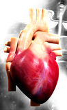 Human heart. Digital illustration of a human heart in white background royalty free stock photography