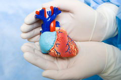 Human heart in doctor's hands. With glove royalty free stock photo