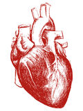 Human Heart Drawing line work Royalty Free Stock Photos