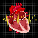 Human heart and graph show heartbeats Stock Photos