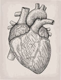 Human heart hand drawn. Anatomical sketch. Medicine, Vector illu Royalty Free Stock Photos