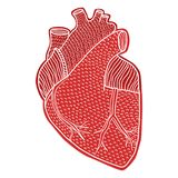 Human heart hand drawn isolated on a white backgrounds Royalty Free Stock Photos