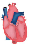 Human heart illustration Royalty Free Stock Photography