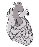 Human heart vector Stock Image