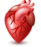 Human heart illustration Royalty Free Stock Photos