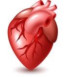 Human heart illustration Royalty Free Stock Photos