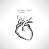 Human heart isolated. Organ icon sketch Stock Image